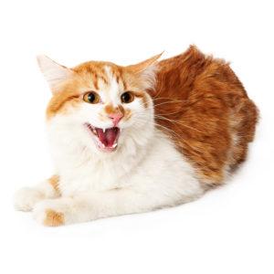 Rasieren einer aggressiven Katze ist gefährlich und kann zu Verletzungen führen.