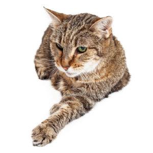 Mit zunehmendem Alter muss die Fellpflege der Katzen nach Möglichkeit ohne Rasieren gestaltet werden.