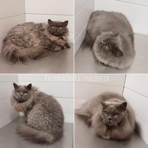 Zwei Britisch Langhaar Katzen vor und nach der Fellpflege